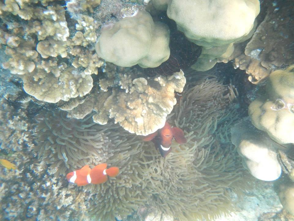 Finding Nemo di Pulau Pahawang, Foto: Averus F